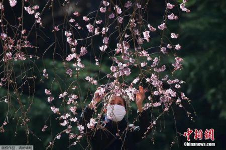 当地时间3月11日,位于日本东京的新宿御苑国家公园樱花盛开,民众戴口罩享受春季美景。