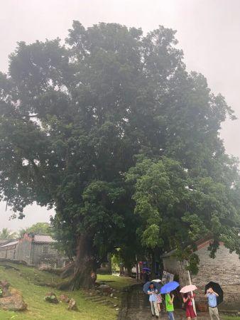 留客村800多年的重阳古木(李明阳/摄)