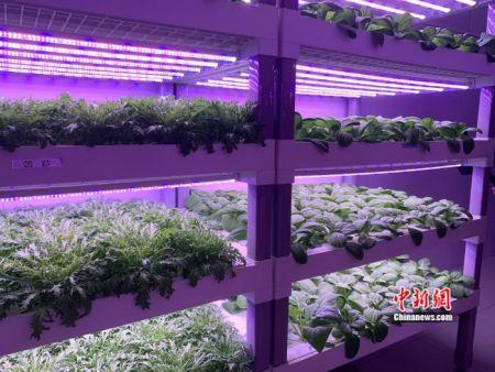 深能农光互补植物工厂里的蔬菜。 中新网 彭婧如 摄