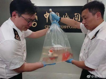 资料图:沈阳海关旅检进境渠道查获活体水生观赏鱼